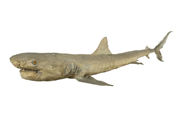 Carcharhinus menisorrah