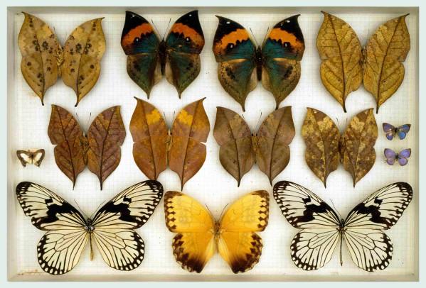 Farfalle Collezione don Boarini